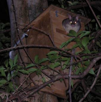 Possum in Box